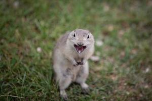 esquilo à terra com raiva foto