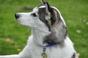 cão indiano husky siberiano com coleira foto