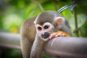 macacos esquilo foto