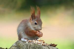 esquilos do bebê foto
