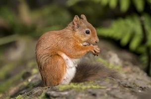 esquilo vermelho, em um tronco de árvore, comendo uma noz foto