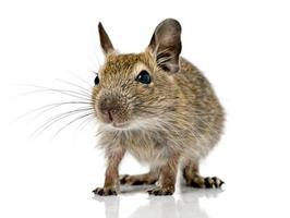 animal de estimação pequeno bonito de roedor degu foto