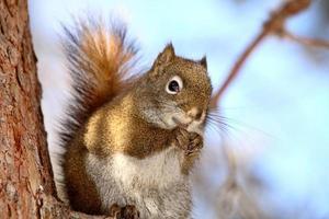 esquilo vermelho no galho de árvore foto