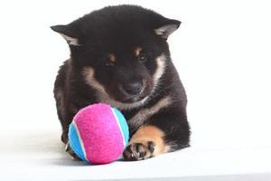 shiba inu filhote de cachorro fundo branco foto