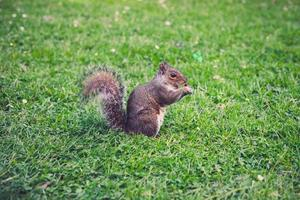 esquilo na grama foto