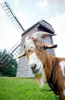 cabra e moinho de vento