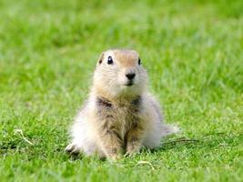jovem esquilo de perto foto