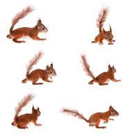 esquilo vermelho eurasian, sciurus vulgar no branco foto