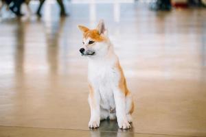 cão branco e vermelho jovem akita inu, filhote de cachorro foto