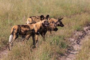 Cães selvagens foto