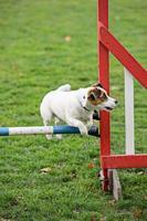 jack russell terrier saltando sobre um obstáculo foto