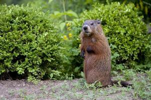 jovem filhote de marmota, também conhecido como marmota foto