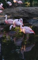 flamingos chilenos, phoenicopterus chilensis