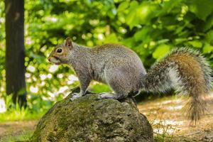 esquilo cinzento no parco del valentino em turim foto