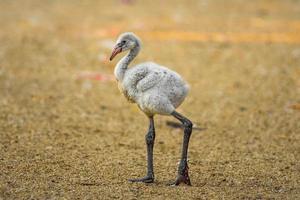 flamingo americano foto