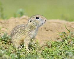 esquilo à terra, filhote de Gopher (spermophilus citellus) foto