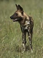 cão selvagem africano foto