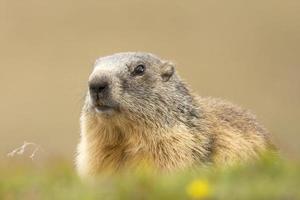 retrato de marmota enquanto olha para você foto