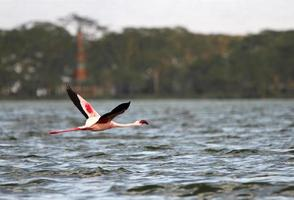 grande flamingo no lago naivasha foto