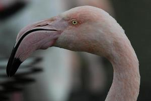 cabeça de flamingo. foto