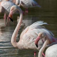 flamingos gruppe foto