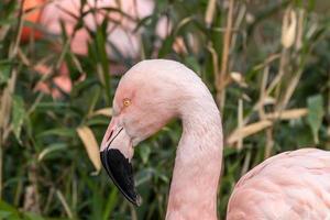 retrato de perfil flamingo chileno foto