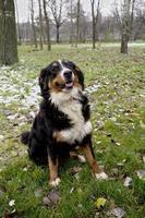 cão de montanha bernese. foto