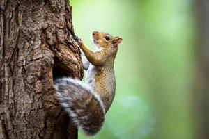 esquilo cinzento oriental (sciurus carolinensis) foto