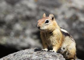 alerta esquilo foto