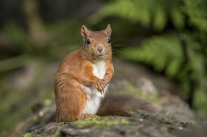 esquilo vermelho, sciurus vulgar, em um tronco de árvore foto