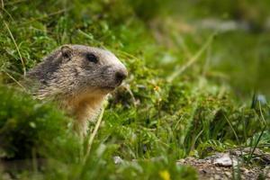 marmota nos Alpes foto