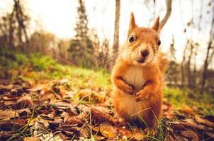 esquilo pele vermelha engraçado animais selvagens natureza animal temático foto