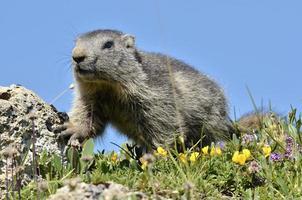 jovem marmota alpina foto