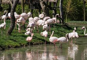 grupo de flamingos maiores (phoenicopterus ruber roseus)