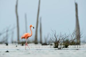 o flamingo rosa do caribe entra na água. foto