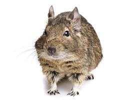 degu roedor foto