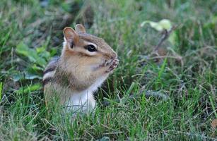 chippy de verão - esquilo na grama verde foto