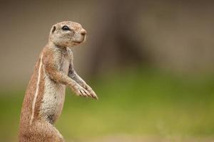 retrato de um esquilo à terra africano foto