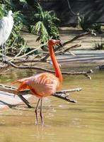 flamingo do caribe foto