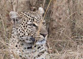leopardo africano foto