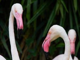 pássaro flamingo. foto