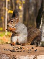 esquilo engraçado vermelho foto