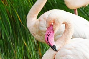 detalhe de flamingo rosa foto