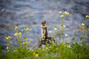 esquilo pela água