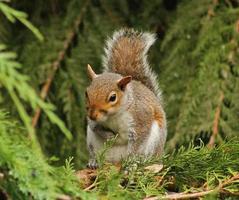 esquilo cinzento sentado em uma árvore. foto