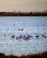 flamingos no pôr do sol foto