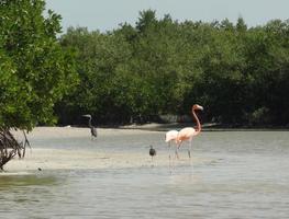 flamingo mexicano foto