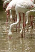 grupo de flamingo na lagoa foto