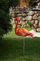 flamingo no zoológico de lisboa foto