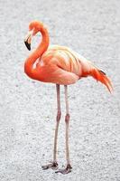 flamingo americano (phoenicopterus ruber) foto